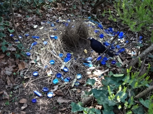 No seasonal confusion here, Mr Bowerbird is always ready for love/