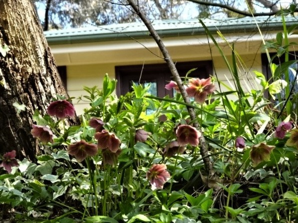 Looking into the 'faces' of helebores as I walk below my garden.
