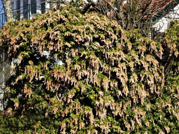 A living wall of Pieris japonica