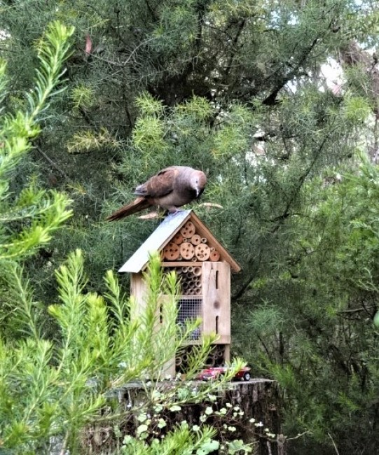 Cuckoo dove house inspection.