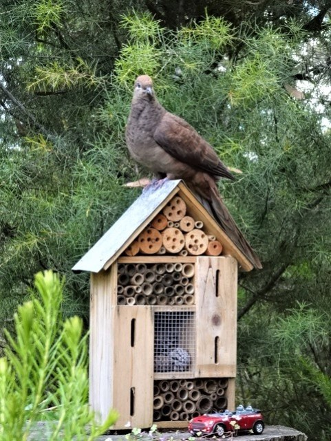 This house is too small for a cuckoo dove.