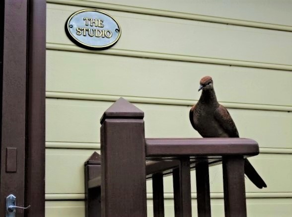 The cuckoo dove looking for a home.