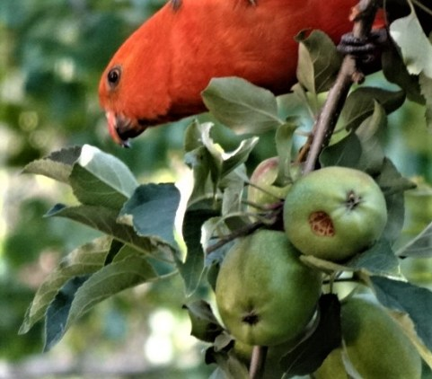 Mr King Parrot in the crabapple.