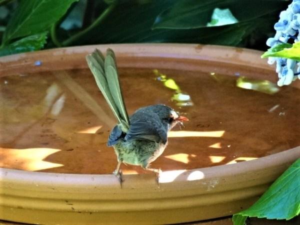 Keep the birdbaths full on hot days.