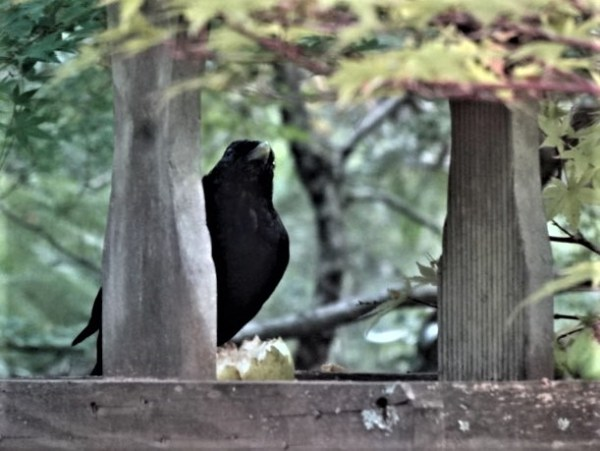 Satin bowerbird eating his share of the muesli apples.