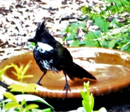 Whip bird in my bird bath.