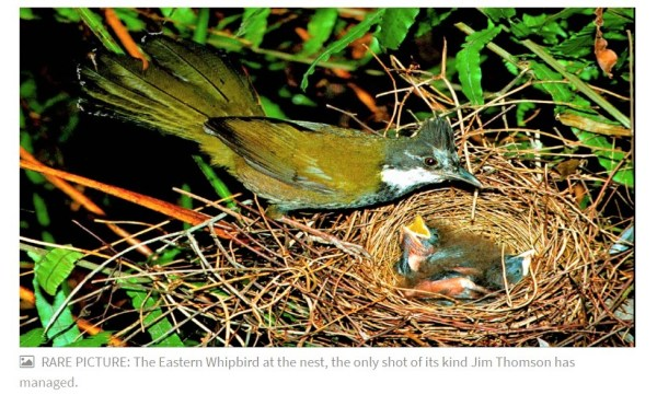 Whipbird at the nest.
