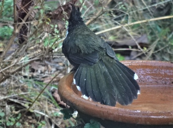 Whipbird displaying his tail feathers.