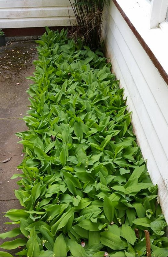 Lily-of-the-Valley, still growing where it did during my 1950s childhood on a Tasmanian farm.