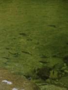 Fish in Mossman Gorge
