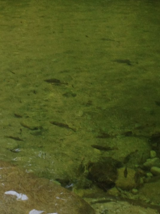 Fish in Mossman Gorge