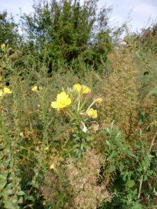 Im nächsten Jahr zeigt sie ihre tolle gelbe, wohlschmeckende Blüte. Foto: Sarah Vierjahn