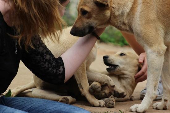 chien errants Thaïlande