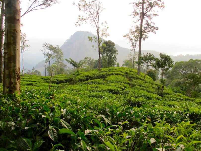 Ella in Sri Lanka with lushes green tea plantation farm
