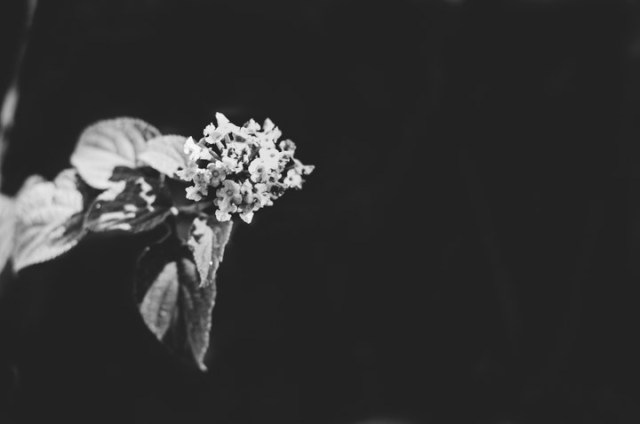 Little pink flowers - black and white