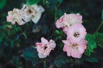 I returned to a spot I noticed a few days before and spent some time trying to capture these pretty flowers with my DSLR.