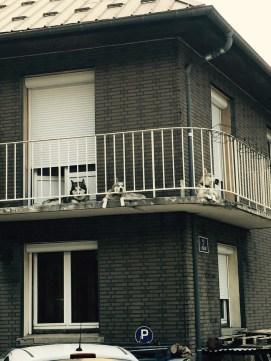 Huskies on balcony
