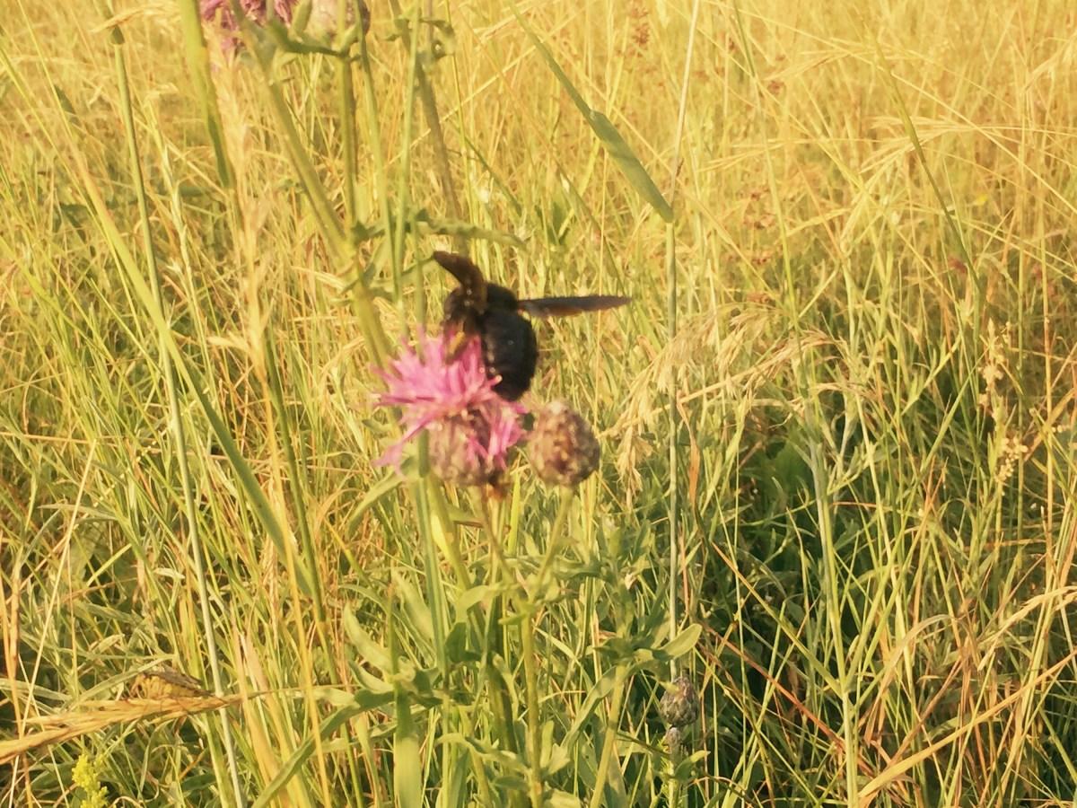 Big black bee, meadow Slovenia