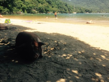 Pig relaxing on the beach, Ilha Grange, Brazil