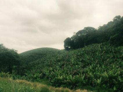 Banana plantations, BR-101, Brazil