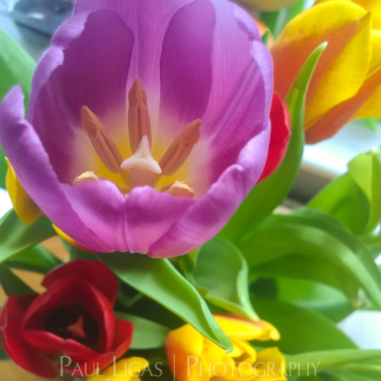 Tulips on the Table flowers nature photographer photography herefordshire 003