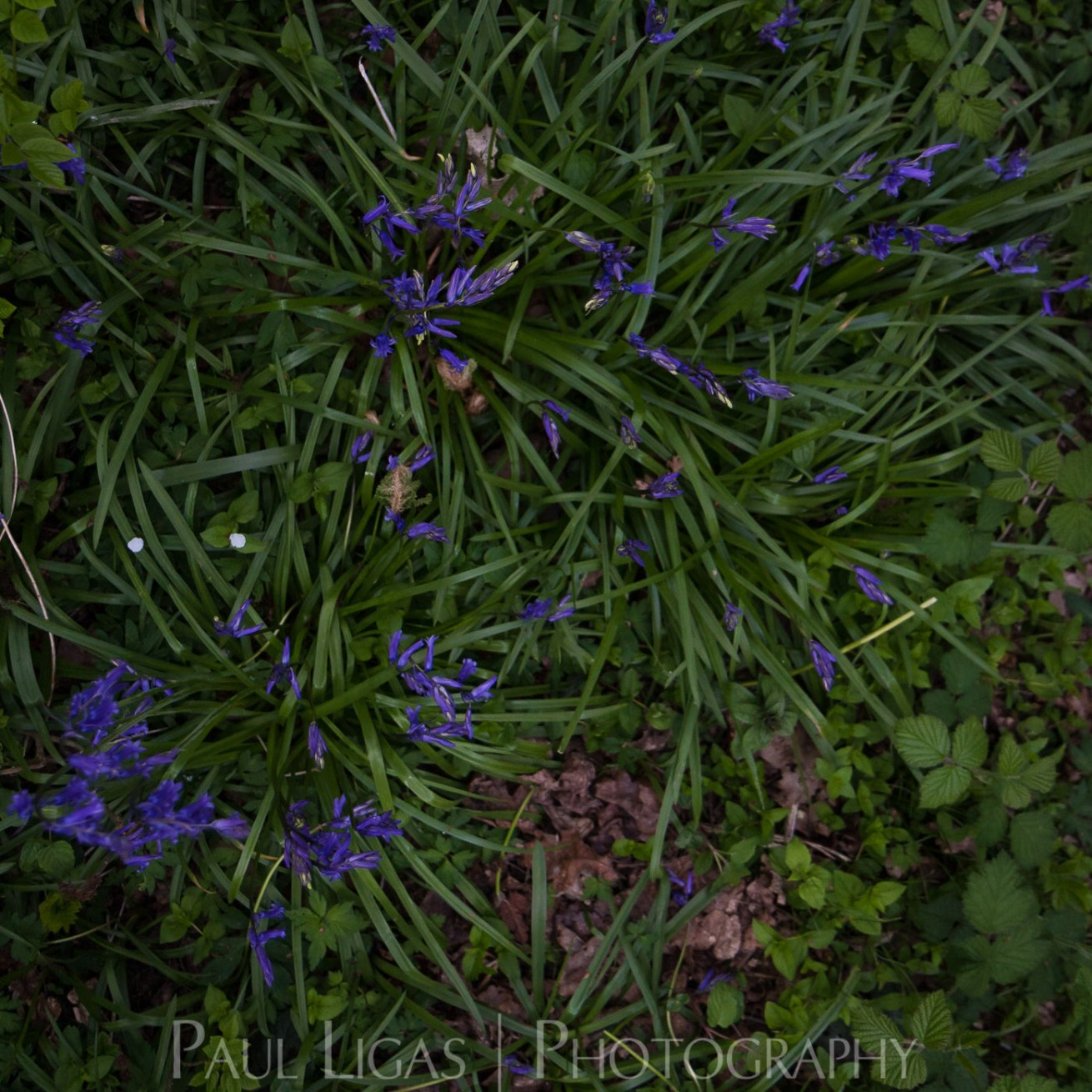 Bluebells in Dog Hill Wood, Ledbury, Herefordshire nature photographer photography landscape 7059