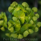 Euphorbia in Dog Hill Wood, Ledbury, Herefordshire nature photographer photography landscape 7086