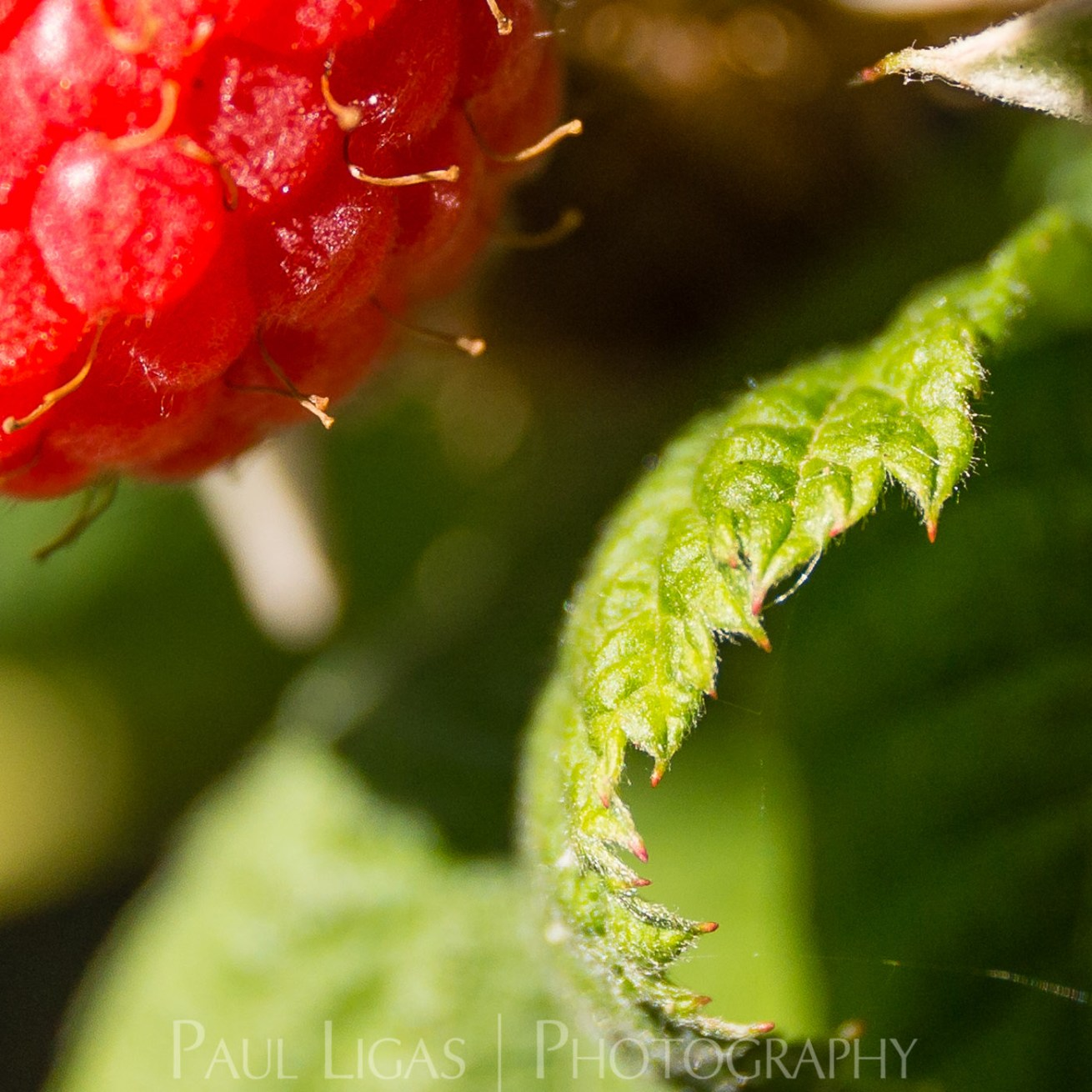 Raspberry farming agriculture photographer photography Herefordshire 0030
