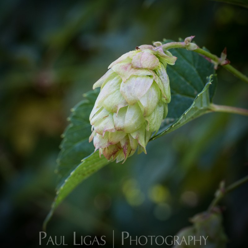 Townend Hop Farm, Herefordshire farming agriculture photographer hops photography
