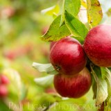 Westons Cider Apples Farming Photographer Herefordshire Ledbury Agriculture 3561