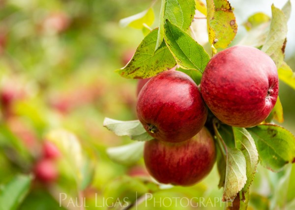 Westons Cider Apples Farming Photographer Herefordshire Ledbury Agriculture