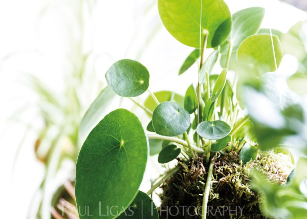 Spiffy Daisy plants kokedama product lifestyle photographer photography Herefordshire