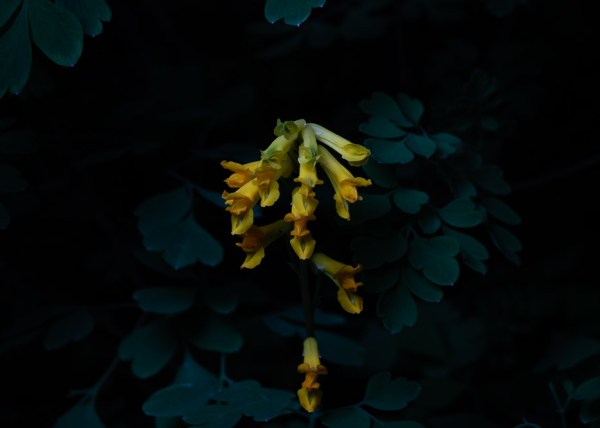 Portraits of Wildflowers at Night - Paul Ligas Photography Herefordshire - birds foot trefoil