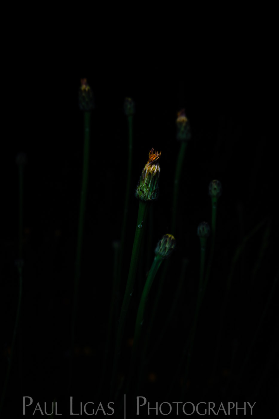 Portraits of Wildflowers at Night - Paul Ligas Photography Herefordshire - Hawkbit-6429