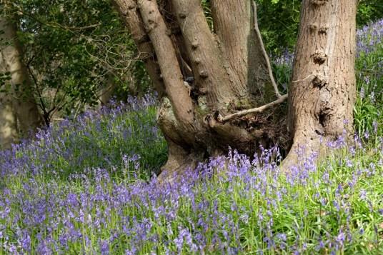 Bluebell Woods in Ilkley