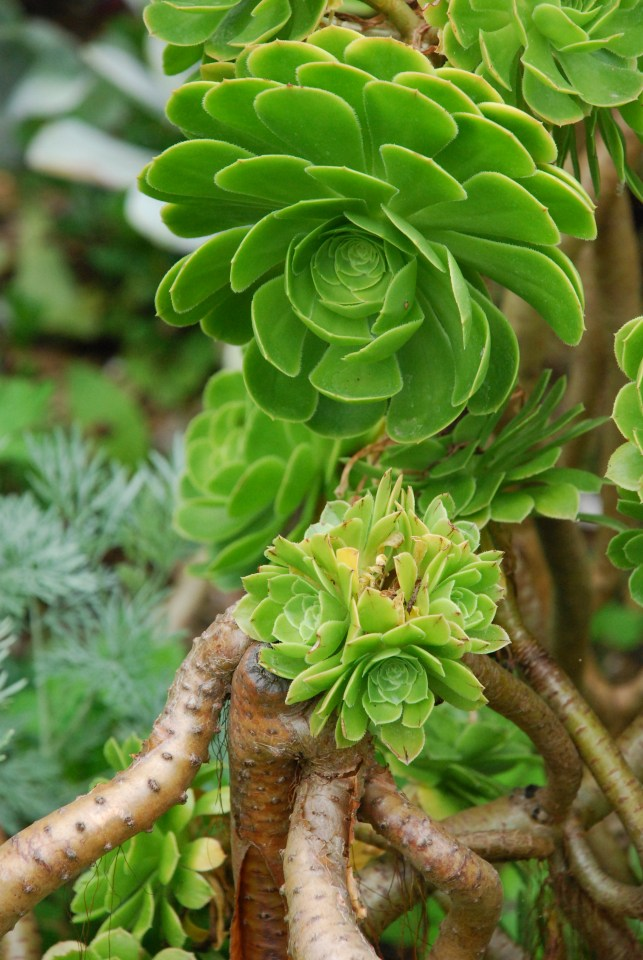 Succulents are big at East Ruston Vicarage Gardens