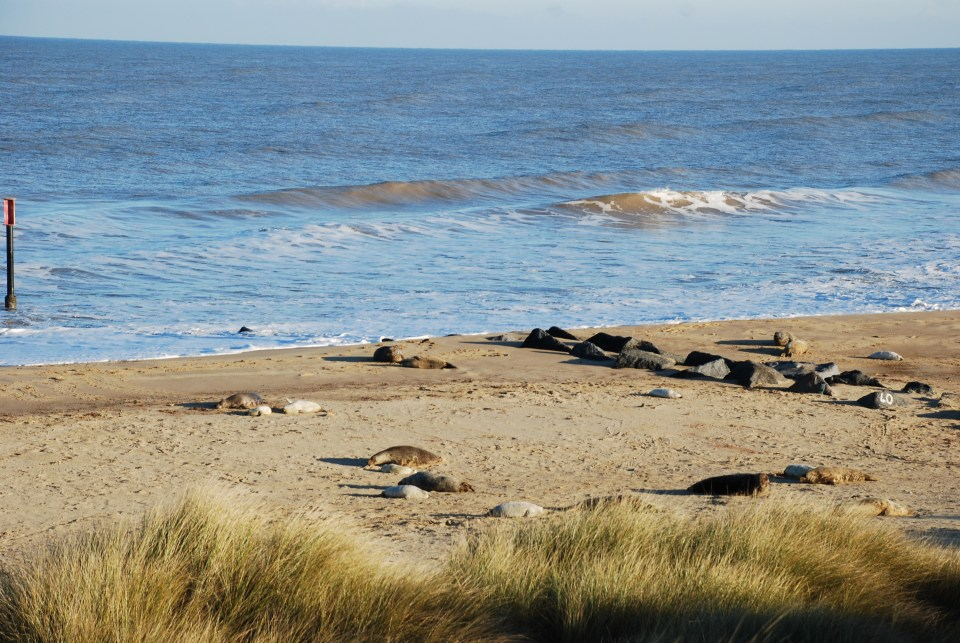 Seals at Horsey beach, Norfolk