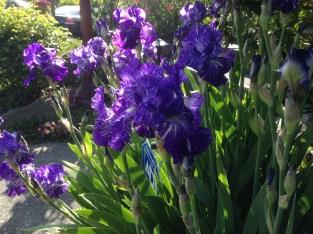 German bearded iris Batik bathes in afternoon sun.