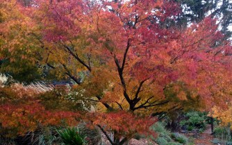 Acer palmatum seiryu, the only upright dissectum maple.