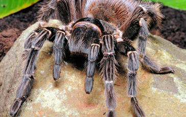 Pauls Reptile Den  For all your Reptile needs  Goliath Bird eating     spider 6 spider 6
