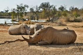 Rhinos resting in Hlane Royal National Park, in Swaziland
