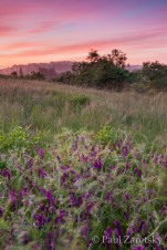 Wild Vetch at Sunset, Star Creek Ranch, Watsonville, CA
