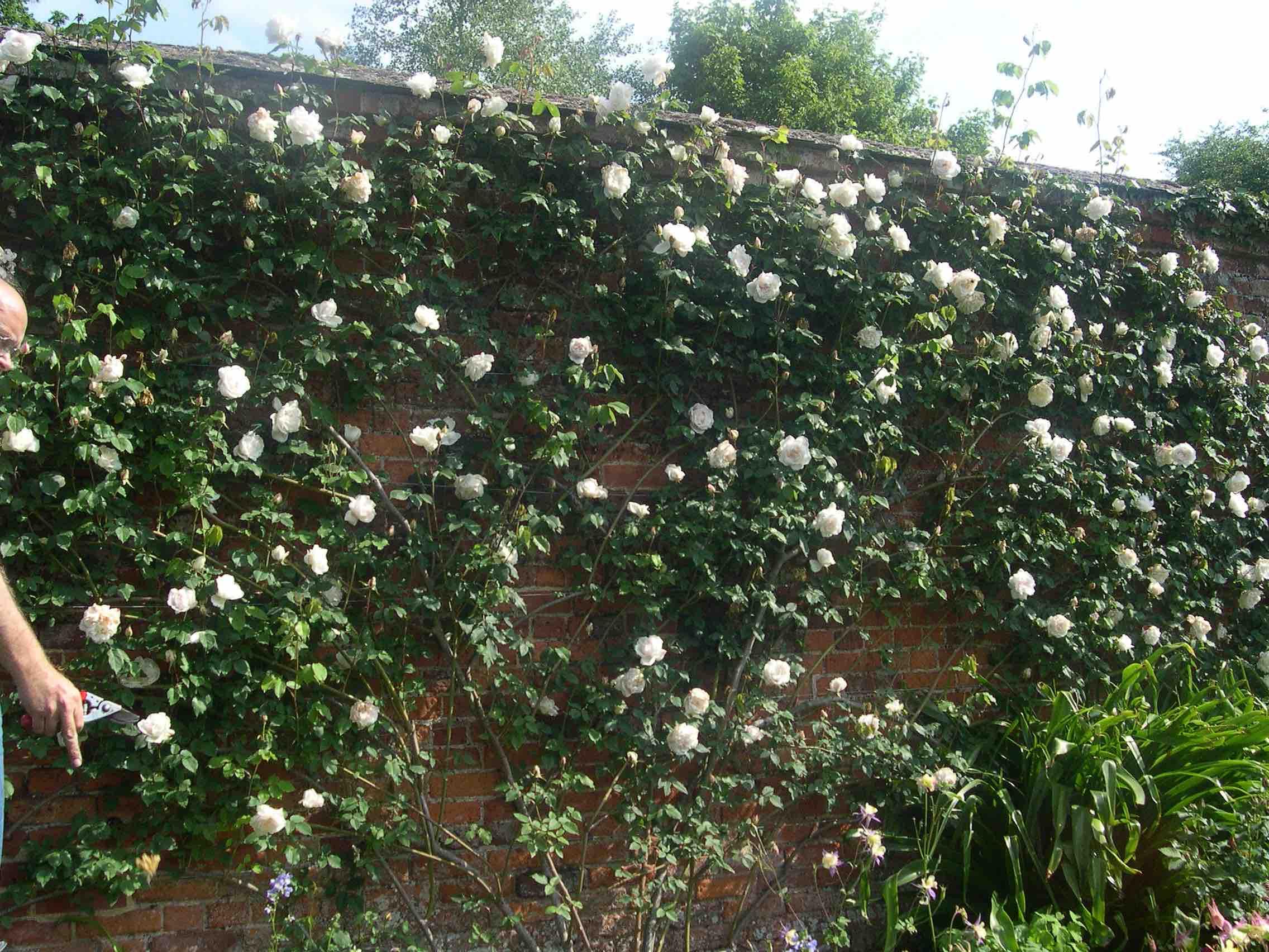pruning climbing roses paul zimmerman roses. Black Bedroom Furniture Sets. Home Design Ideas