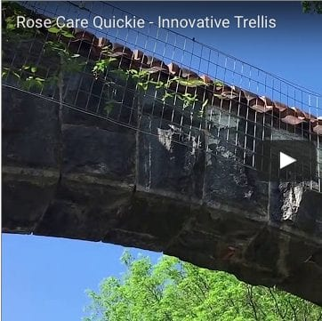 Rose Care Quickie – Innovative Trellis!