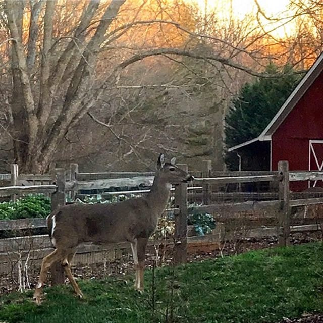 New Idea For Deer-proofing Your Garden