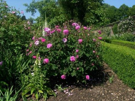 Garden Roses are covered in leaves and blooms.