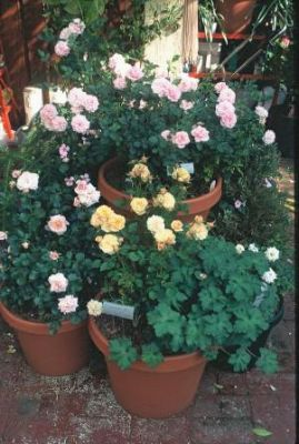 A group of roses in pots adds decor to a patio or deck.