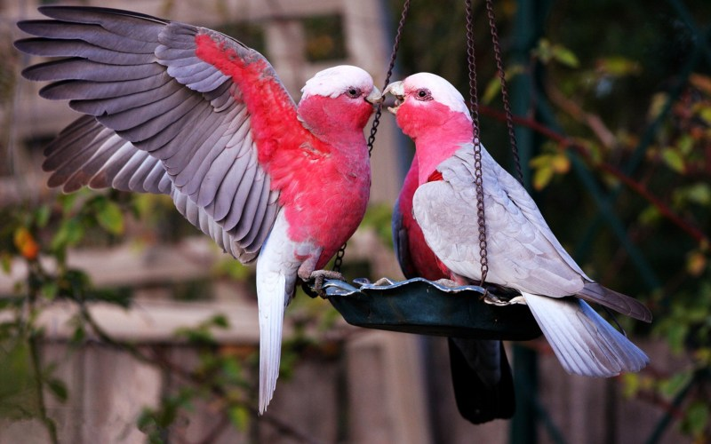 Beautiful Love Birds Wallpapers Goodpict1st Org