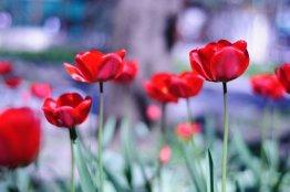 Тюльпаны в сквере Анджиевского
