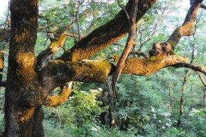 Дерево на Бештау